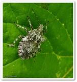 Stinkbug (Parabrochymena)