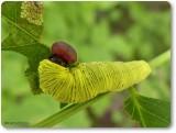 Silver-spotted skipper caterpillar (Epargyreus clarus)