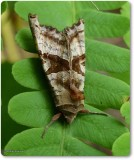 Brown Angle Shades moth (Phlogophora periculosa), #9547