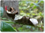 Giant Swallowtail butterfly larva (Papilio cresphontes)