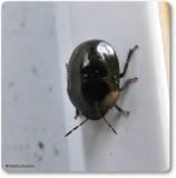 Ebony Bugs (Family: Thyreocoridae)