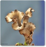 Horn of Plenty (Craterellus fallax)