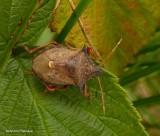 Spiny shieldbug (Picromerus bidens)