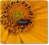 Probable soldier beetle
