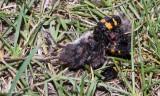 Burying beetles  (Nicrophorus) with dead mouse