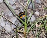 Burying beetle (Nicrophorous)
