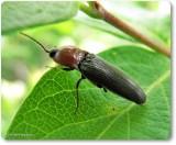 Click beetle, probably Melanotus leonard