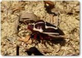 Stink bug (Perillus circumcinctus)