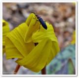 False Blister Beetle on Dog-tooth Violet