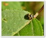 Fourteen-spotted ladybeetle (Propylea quatuordecimpunctata)