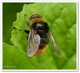 Hover fly (Merodon equestris)