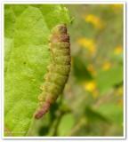 Coral hairstreak larva (Satyrium titus)