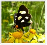 Eight-spotted forester moth (Alypia octomaculata), #9314