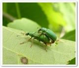 Green weevils  (Polydrusus)