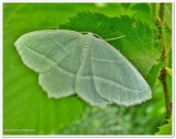 Pale beauty moth (Campaea perlata), #6796