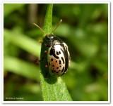 Calligraphic beetle (Calligrapha vicina)