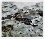 Click beetle (Ampedus sp.)