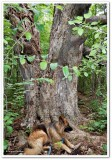 Sasha and the big tree