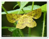 Geometer moth (Xanthotype sp.), male