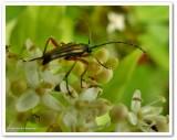 Flower longhorned beetle (Analeptura lineola)