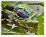 Predatory stinkbug nymph (Apoecilus)