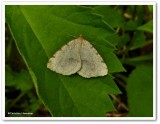 Moth, possibly a Macaria species