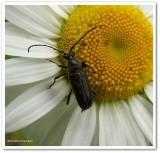 Longhorned beetle (Anoplodera pubera)