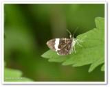 White-striped black moth  (Trichodezia albovittata) ,#7430