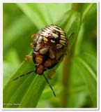 Stink bug nymph (Pentatomidae)