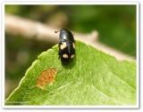 Four-spotted sap-feeding beetle  (Glischrochilus quadrisignatus)