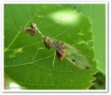 Nerve-winged Insects  (Order: Neuroptera) of the Reveler Conservation Area
