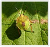 Stinkbug nymph (Euschistus)