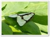 Leconte's haploa moth (Haploa lecontei), #8111
