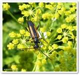Flower lonhorn beetle (Strangalepta abbreviata)