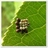 Stinkbug nymphs and eggs