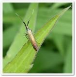 Metallic casebearer moth (Coleophora mayrella), #1387