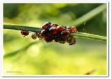 Predatory stinkbugs eggs and nymphs