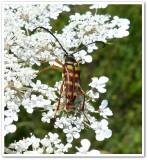 Flower longhorn beetle (Typocerus velutinus)