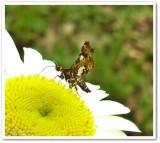 Spotted thyris moth (Thyris maculata), #6076