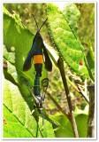 Peachtree borer moths (Synanthedon exitiosa), #2583