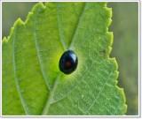 Lady beetle (Chilocorus sp.)