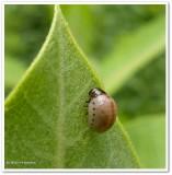 Milkweed leaf beetle larva (Labidomera clivicollis)