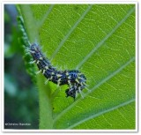 Eastern comma butterfly  larva (Polygonia comma)