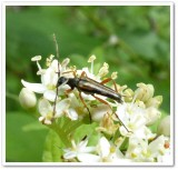 Flower longhorn beetle (Analeptura lineola)