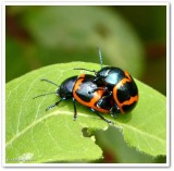 Milkweed leaf beetles (Labidomera clivicollis)
