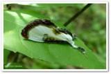 Beautiful wood nymph moth (Eudryas grata) #9301