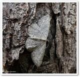 Sweetfern geometer moth (Cyclophora pendulinaria), #7139