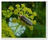 Firefly (Photinus pyralis)
