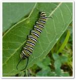 Monarch butterfly  (Danaus plexippus) Larvae and Chrysalises
