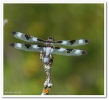 Dragonflies and Damselflies  (Order: Odonata) of the Reveler Conservation Area